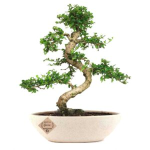 Glorious Carmona Bonsai Live Plant 8 Yrs