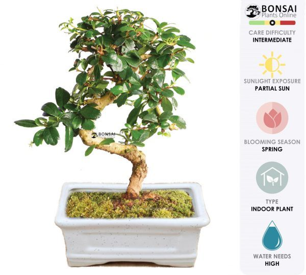 Carmona Bonsai Tree (5 Yrs Old) x 20cm