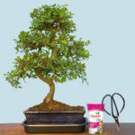 Statement Chinese Elm Bonsai Plant 10 Year old