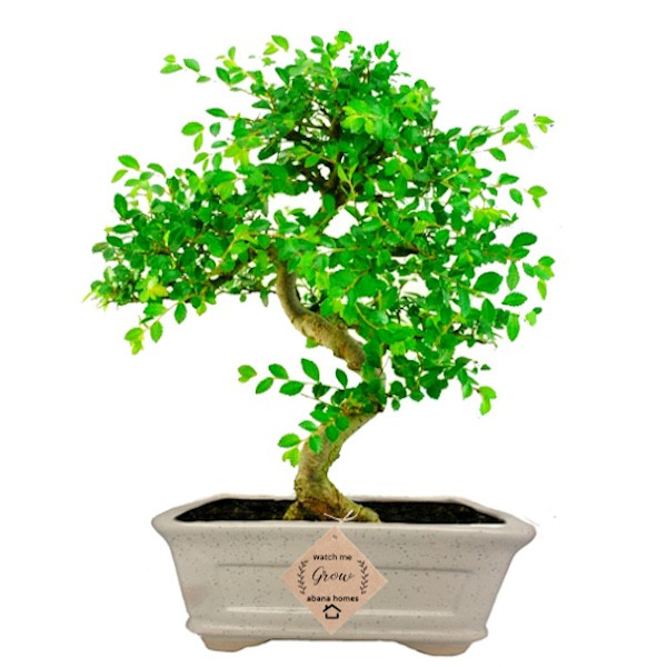 Ulmus Bonsai Tree 5 Yrs 25cm