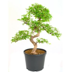 Ulmus Bonsai Tree Growing pot – 8 Yrs 30cm