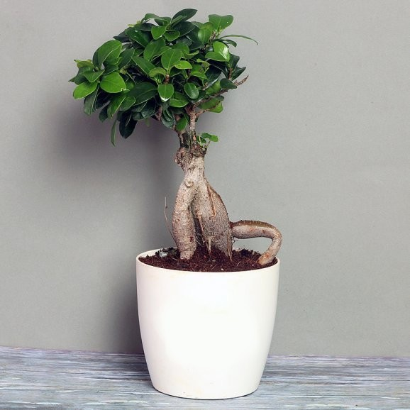 Ficus Bonsai Live Plant - 3 year old