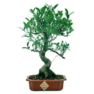 SeGrand Ficus Bonsai Live Tree (9 Yrs Old) x 35cm