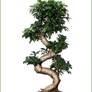 Stylish Multi Curved Ficus Plant Bonsai (15Yrs – 60cms)