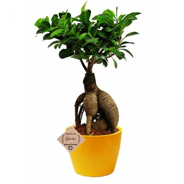 Ficus Bonsai Live Plants with Pot (Ginseng)