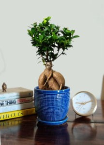 grafted ficus bonsai tree