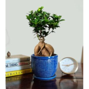 Stylish Ficus Bonsai Plant – 4 Yrs