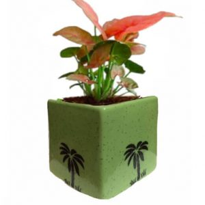 Air Purifying Plants Syngonium Mini in Green Pot