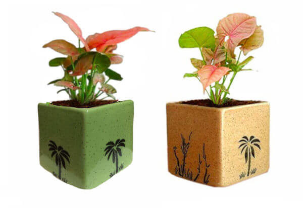 Air Purifying Plant Syngonium Mini in Green and White Pot (Combo of 2)