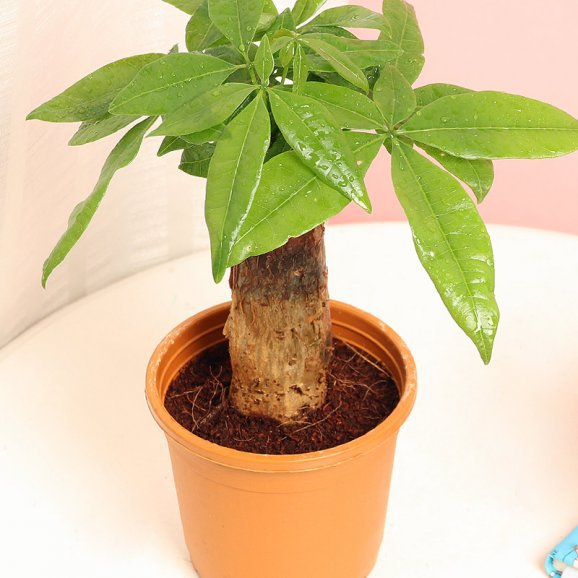 Pachira Bonsai Live Plants / Money Tree