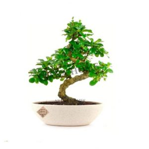 Carmona Indoor Bonsai Plants in Ceramic Pot