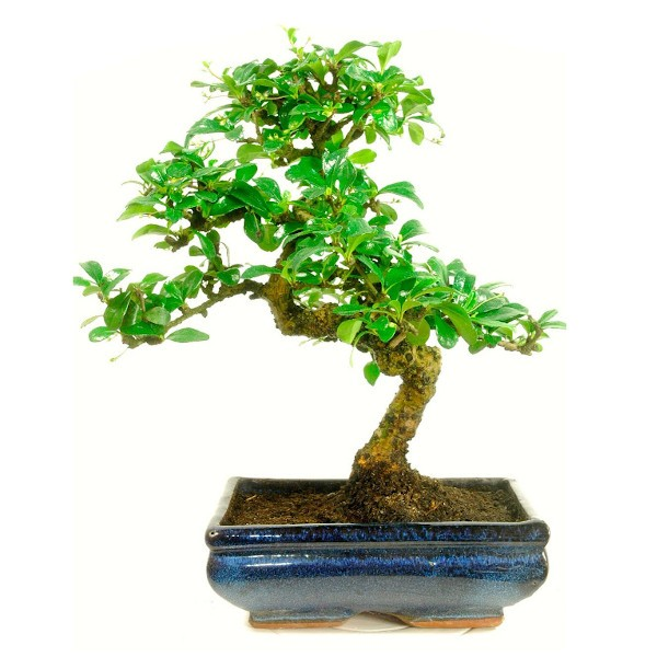 Carmona Bonsai 4 Yrs 20 cm