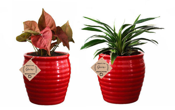 Air Purifying Plants Combo of Syngonium Mini & Spider Indoor Plant in Red Pot