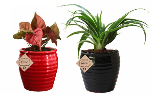 Air Purifying Plants Combo of Red Syngonium Mini & Black Spider Indoor Plant with Pot