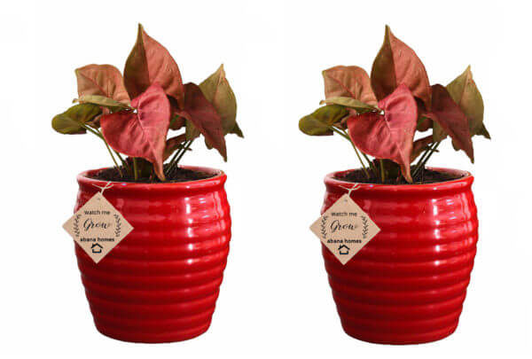 Air Purifying Plants Syngonium Mini Indoor Plant in Red Pot (Combo of 2)