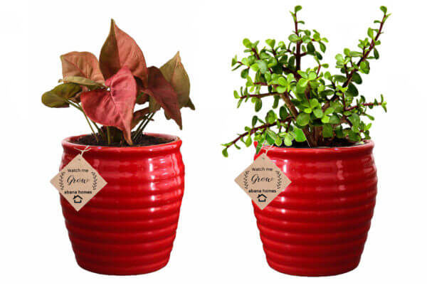 Air Purifying Plants Combo of Red Syngonium Mini & Jade Indoor Plant with Pot