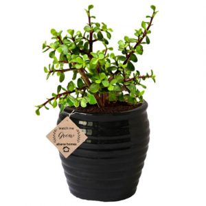 Good Luck Jade Plant in Beautiful Black Pot