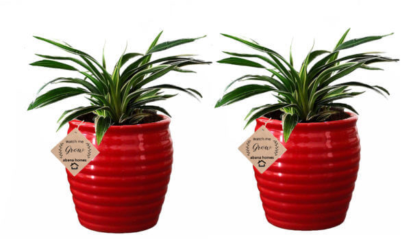 Air Purifier Spider Plant in Beautiful Red Pot (Combo of 2)