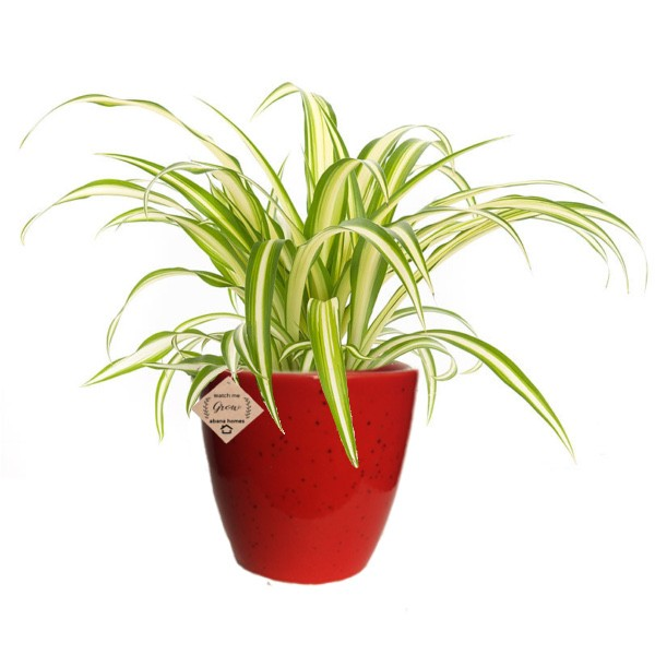 Spider Air Purifying Plants