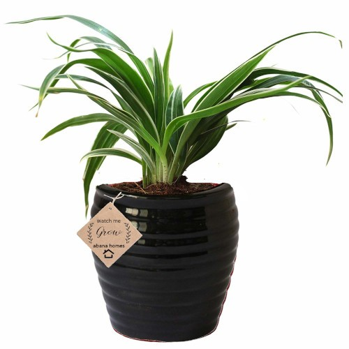 Air Purifier Spider Plant in Beautiful Black Pot