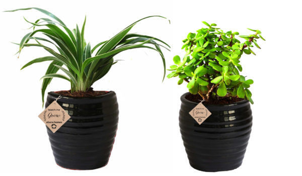 Air Purifying Plants Combo of Spider and Jade Indoor Plant in Black Pot