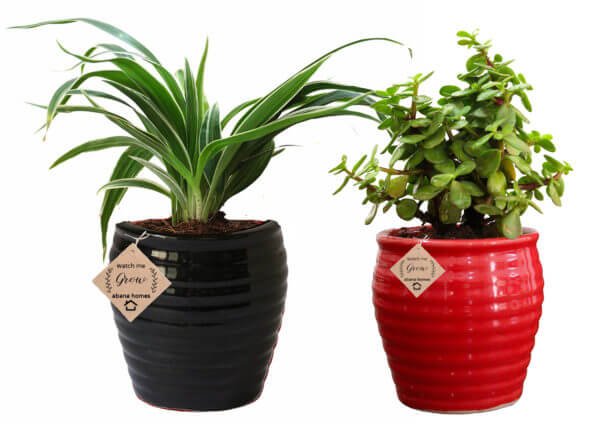 Air Purifying Plants Combo of Spider and Jade Indoor Plant