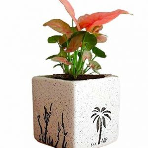 Syngonium Air Purifying Plants
