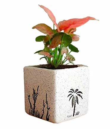 Air Purifying Plants Syngonium Mini Indoor Plant Square Pot