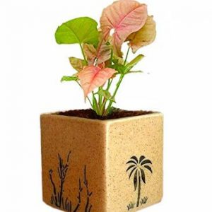 Air Purifying Plants Syngonium Mini Indoor Plant in Brown Pot