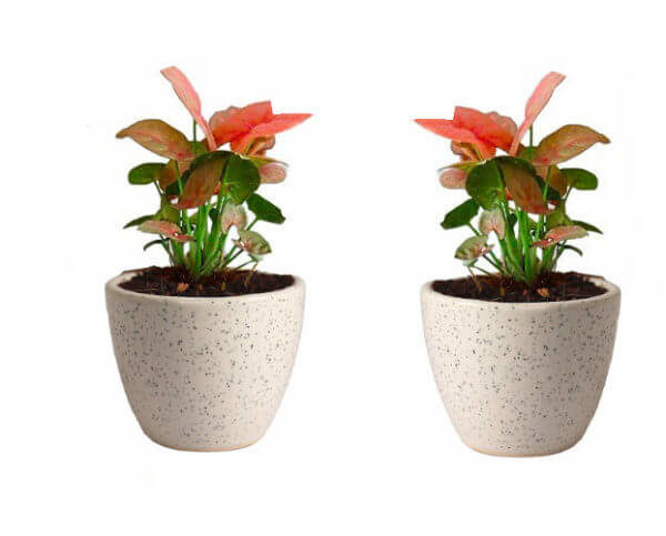 Air Purifying Plants Syngonium Mini Indoor Plant in White Pot (Combo of 2)