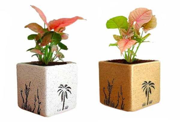 Air Purifying Plants Syngonium Mini Indoor Plant in Pot (Combo of 2)