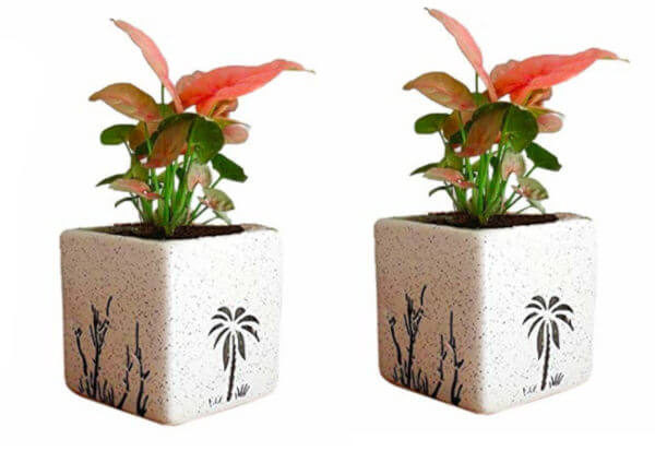 Air Purifying Plants Syngonium Mini Indoor Plant in White Square Pot (Combo of 2)