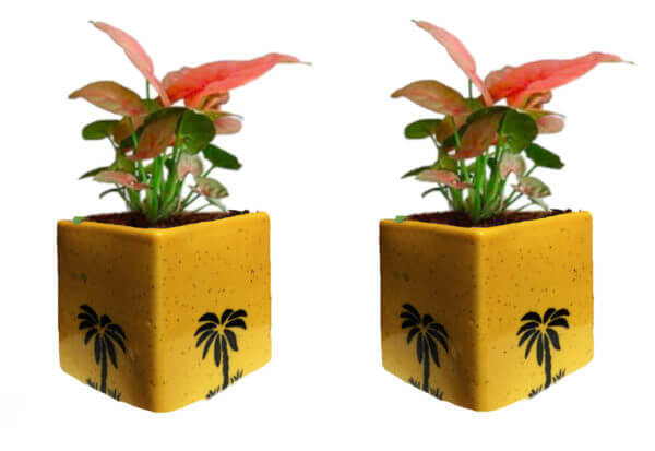 Air Purifying Plants Syngonium Mini Indoor Plant in Yellow Pot (Combo of 2)