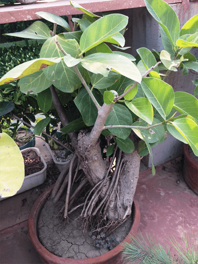 Banyan Bonsai | Ficus Religiosa 17 Year Old