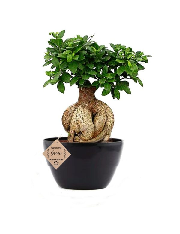 Ficus Bonsai Tree with Studying Ganesh