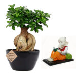 Ficus Bonsai with Studying Ganesh