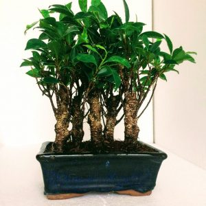 Ficus Jungle Style Combo of 5 Bonsai