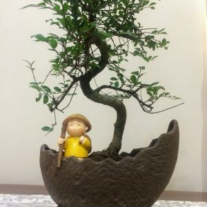 Chinese Elm Bonsai Tree in Imported Pot & Attached Tray (5 Yrs Old)