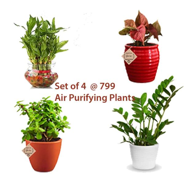 Diwali Gift Plants Corporate Gifts