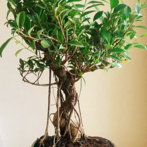Big Ficus Bonsai Tree (15 Yrs)