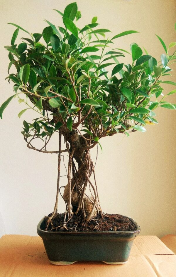 Ficus Bonsai Tree with Ariel Roots (15 Yrs)