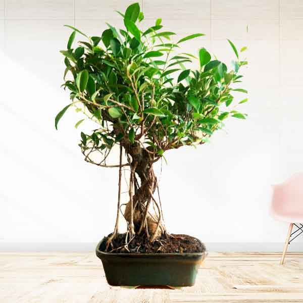 Buy Big Ficus Bonsai Tree With Ceramic Pot 15 Year Old Exclusive Edition 30 Cashback Abana Homes