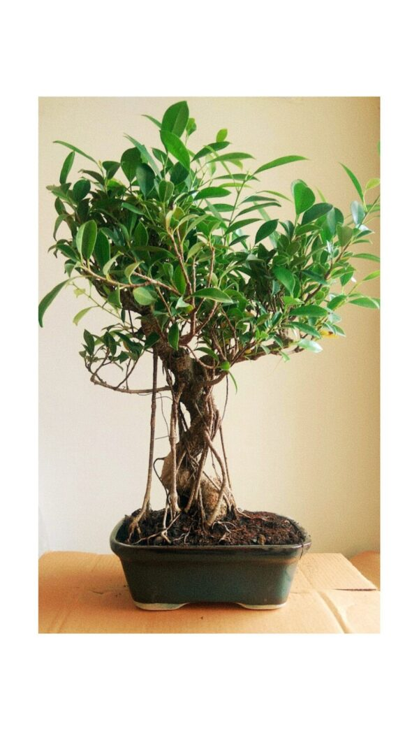 Big Ficus Bonsai Tree with Ceramic Pot- 15 Year old  – Exclusive Edition