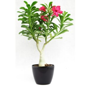 Flowering Bonsai Plants