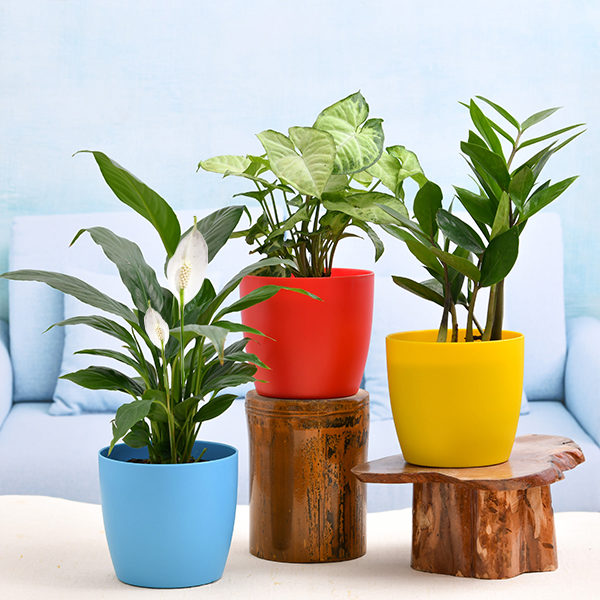 Air Purifying Plants Combo under 599