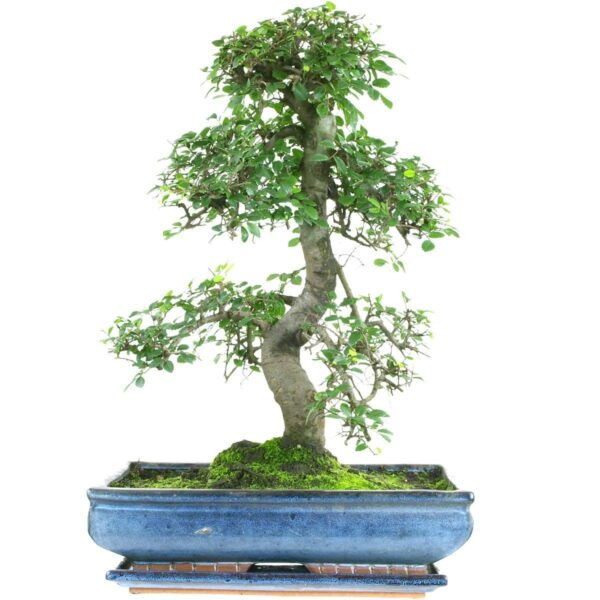 Ulmus Bonsai Tree – 20 Yrs – 50cm