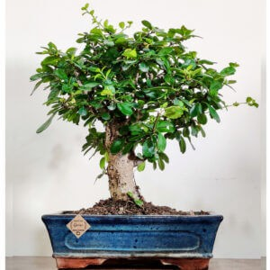 Carmona Bonsai Tree 10 Yrs Old 25-30 CM (i-shape)
