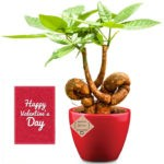 Heart Shaped Pachira Bonsai with Pot
