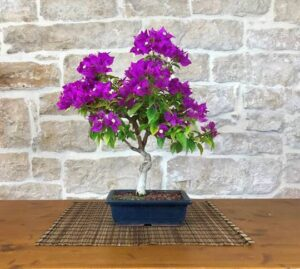 bougainville flowering bonsai plant