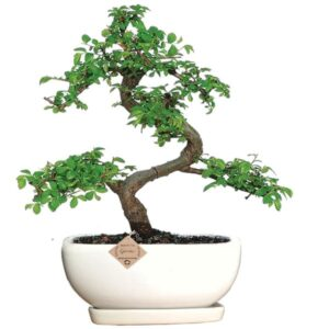 Ulmus Bonsai Tree with Drip Tray – 5 Yrs